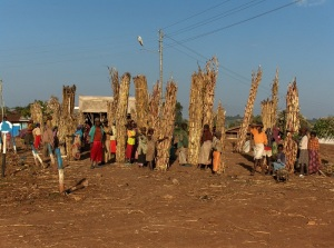 Maize stalk market