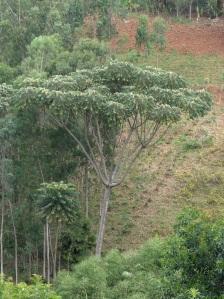 Kalsha: Parasol tree