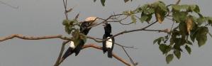 Silvery-cheeked hornbills