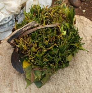 Bundle of coffee leaves